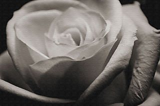 Texttured rose