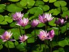 Water_lilies